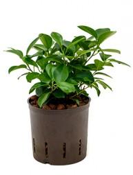 Ficus moclame Tuff 13/12 Ges. H . ca. 30-40 cm