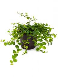 Ficus repens Ranker im Kulturtopf 13/12