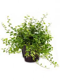 Ficus repens sunny Ranker im Kulturtopf 13/12