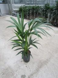 Howeia Forsteriana (Kentia) KT 15/19 ges. H. ca. 50 cm