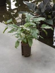 Philodendron Xanadu (Baumfreund) in versch. Größen
