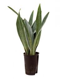 Sanseveria metallica (Bogenhanf) im KT 15/19, 60 cm