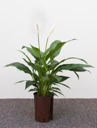 Spathiphyllum Hybriden mont blanc im KT 13/12 ca. 30-40 cm